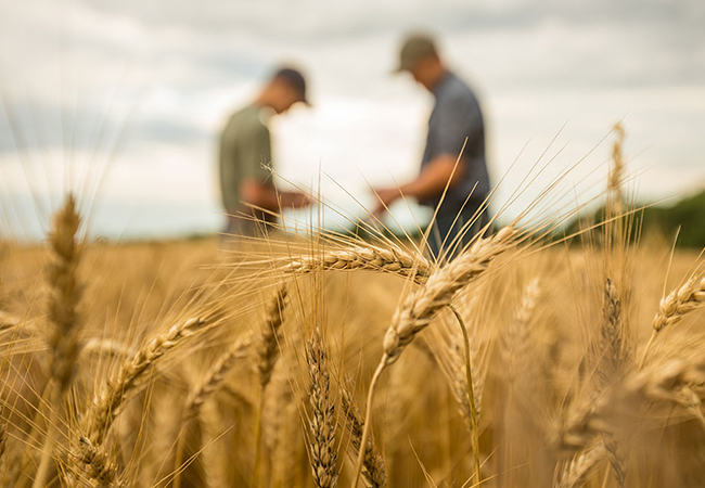 Two farmers in a wheat field evaluating the crop.