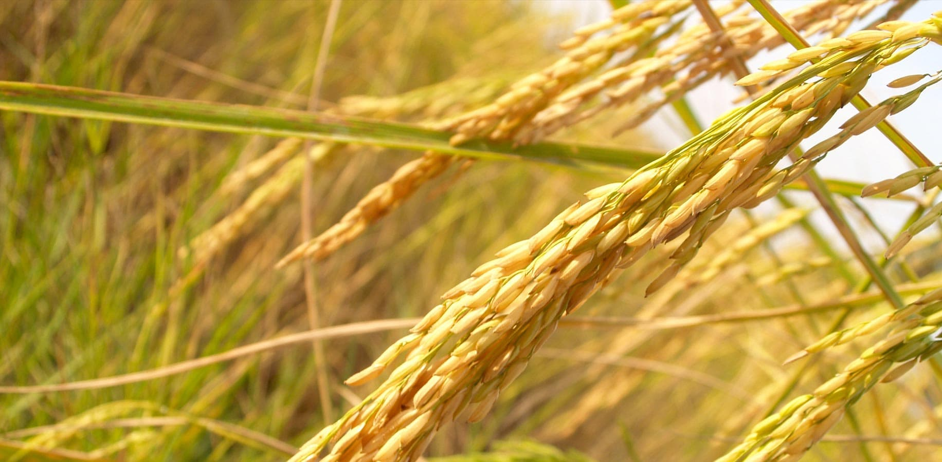 Close of shot of a rice crop